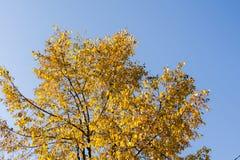 Kolorów żółtych liście na drzewo wierzchołku Zdjęcia Royalty Free