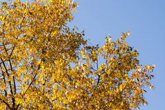 Kolorów żółtych liście na drzewo wierzchołku Fotografia Stock
