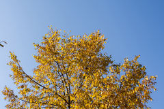 Kolorów żółtych liście na drzewo wierzchołku Zdjęcie Royalty Free
