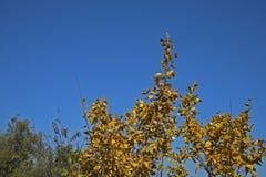 Kolorów żółtych liście na drzewo wierzchołku Obraz Royalty Free