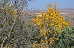 Kolorów żółtych liście na drzewo wierzchołku Zdjęcia Stock