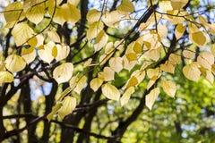 Kolorów żółtych liście na nagich gałąź bukowy drzewo w parku Obraz Royalty Free