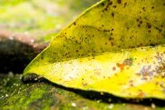 Kolorów żółtych liście na skałach Zdjęcia Stock