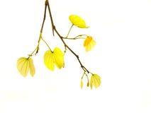 Kolorów żółtych liście odizolowywający Zdjęcie Royalty Free