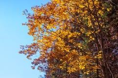 Kolorów żółtych liście przeciw niebu Fotografia Stock