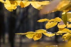Kolorów żółtych liście w świetle słonecznym w jesień lesie zdjęcie stock