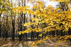 Kolorów żółtych liście w świetle słonecznym w jesień lesie obrazy stock