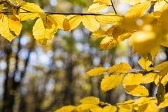 Kolorów żółtych liście w świetle słonecznym w jesień lesie obrazy royalty free