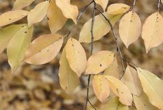 Kolorów żółtych liście w jesień lesie fotografia royalty free
