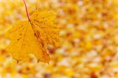 Kolorów żółtych liście w jesieni Obrazy Royalty Free