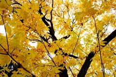 Kolorów żółtych liście w ogródzie botanicznym Zdjęcie Stock