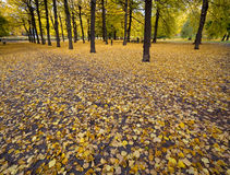 Kolorów żółtych liście w parku w jesieni. Zdjęcie Royalty Free