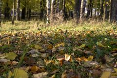 Kolorów żółtych liście w trawie Obrazy Stock