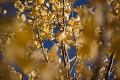 Kolorów żółtych liście z niebieskim niebem Fotografia Royalty Free