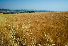 Kolorów żółtych pola z dojrzałą ciężką banatką, grano duro, Sicily, Włochy Zdjęcie Royalty Free