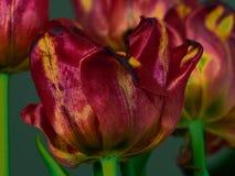 Kolorów żółtych tulipanów zakończenie na ciemnym tle fotografia stock