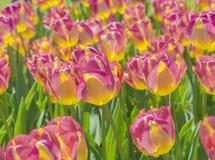 kolorów żółtych tulipanów zbliżenie Fotografia Stock