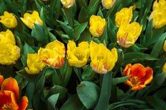 Kolorów żółtych zatkani tulipany na naturalnym kwiecistym tle Obrazy Stock
