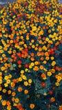 Kolor żółty i czerwony plama kwiat obrazy stock