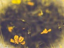 Kolor żółty kosmosu kwiatu okwitnięcie w polu Wiosny lata pojęcia natury pomysł Skoczny tło obrazy royalty free
