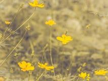 Kolor żółty kosmosu kwiatu okwitnięcie w polu Wiosny lata pojęcia natury pomysł Skoczny tło obraz stock