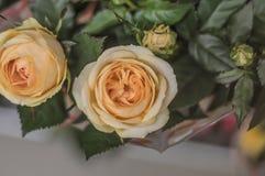 Kolor żółty róża w ogródzie obraz royalty free