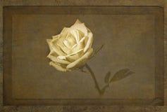 Kolor żółty róży wyłaniać się obraz stock