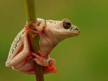 Kolor żółty łaciasta drzewna żaba Obraz Stock
