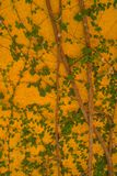 Kolor żółty ściana z zielonym bluszczem Fotografia Stock