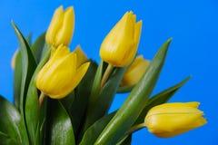 Kolor żółty, świezi tulipany jest na błękitnym tle Zdjęcie Stock