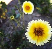 Kolor żółty świrzepy Fotografia Royalty Free