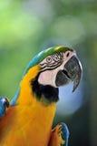 Kolor żółty ara Zdjęcia Stock
