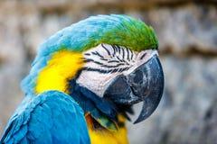 Kolor żółty ara, portreta strzał zdjęcie royalty free