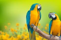 kolor żółty ara także znać jako złoto ara, (aronu ararauna) zdjęcia royalty free
