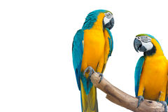 kolor żółty ara także znać jako złoto ara, (aronu ararauna) zdjęcie stock