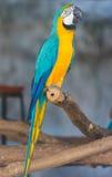 kolor żółty ara także znać jako złoto ara, (aronu ararauna) zdjęcia stock
