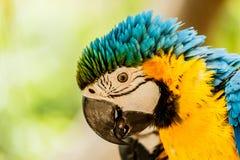 kolor żółty ary papugi Obrazy Stock
