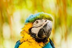 kolor żółty ary papugi Zdjęcie Stock