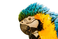 kolor żółty ary papugi Obraz Royalty Free