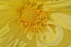 Kolor żółty barwiący dalia kwiat obrazy royalty free