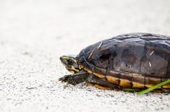 Kolor żółty Bellied suwaka żółw Fotografia Stock