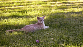 Kolor żółty - biały tabby paskował kotów odpoczynki Zdjęcie Royalty Free