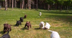 Kolor żółty, Brown i Czarny Labrador Retriever, szczeniaki biega na gazonie, Normandy w Francja, zwolnione tempo zbiory