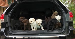 Kolor żółty, Brown i Czarny Labrador Retriever, szczeniaki w bagażniku samochód, Normandy w Francja, zwolnione tempo zbiory