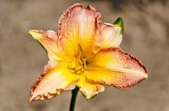 Kolor żółty, brzoskwinia i Czerwona leluja, zdjęcie royalty free