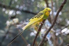 Kolor żółty Budgie na Gałęziastej Outside nierozłączce i zieleń Fotografia Royalty Free