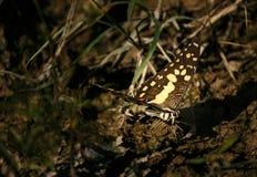 Kolor żółty buttlefly Fotografia Royalty Free
