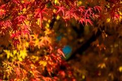 Kolor żółty czerwoni liście klon z czerwień mostem zdjęcia royalty free