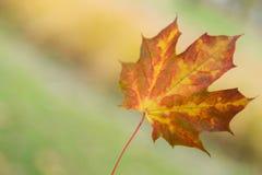 Kolor żółty - czerwony liść zdjęcia royalty free