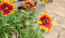 Kolor żółty, czerwony wibrujący galardia kwiat i miodowa pszczoła obrazy stock